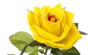 zapach róży