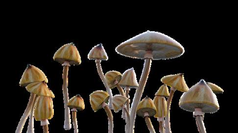 grzybki halucynogenne